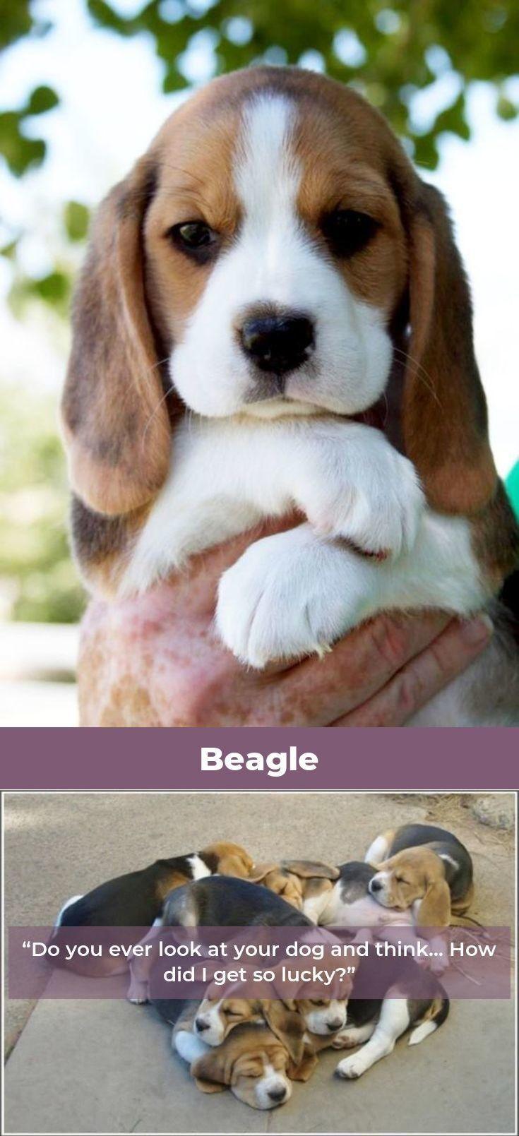 Beagle Puppy Beagle Beagles Memes Dog Breeds Beagle Bulldog Breeds