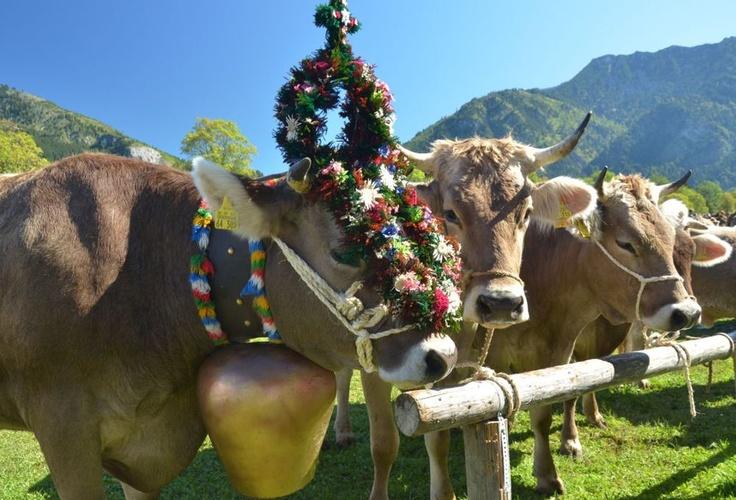 """Die schönsten Kühe bekommen einen Blumenkranz aufgebunden. Allerdings nur, wenn über den Sommer kein Tier verunglückt ist. Somit ist jedes Jahr bis zuletzt unklar wie viel """"Kranzkühe"""" es geben wird.  Repinned by www.mygrowingtraditions.com"""