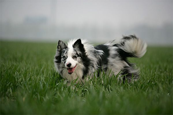Blue Merle Border Collie Mix - I want a dog like this!