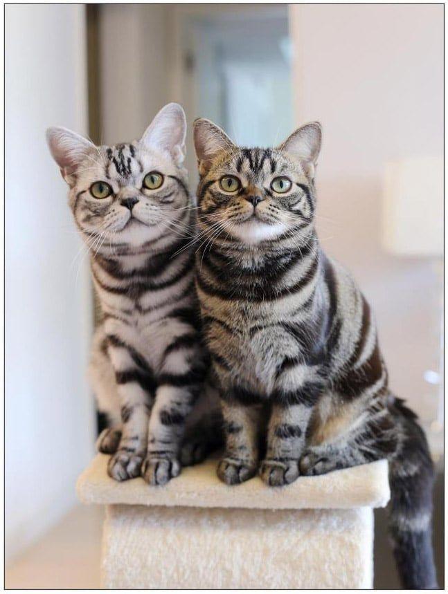 American Shorthair Cat Breeds American Shorthair Cat Cat Breeds American Shorthair