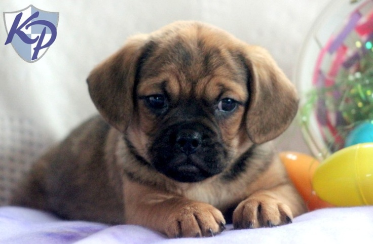 Dede – Puggle Puppies for Sale in PA | Keystone Puppies