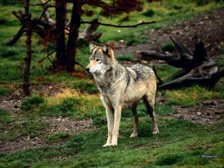 on All About Wolves  http://www.all-about-wolves.com/wp-content/gallery/free-wolf-photos-and-wallpaper/wolf_52_big.jpg