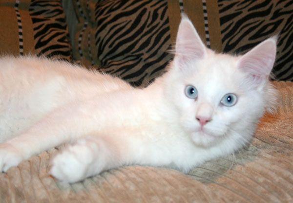 #MaineCoon #Blue #Eyed #White #Cats Cybercat's Suzi