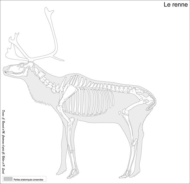 Rangifer tarandus (caribou)