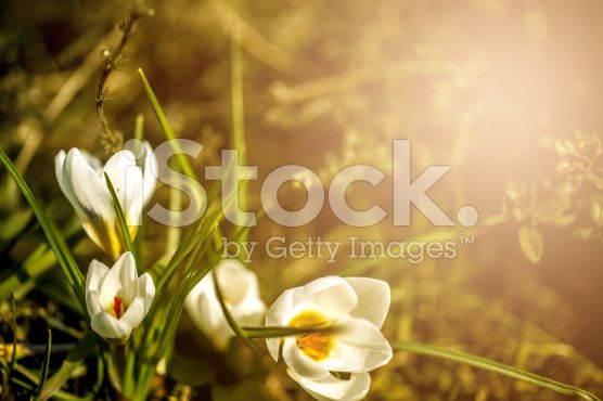 white crocuses royalty-free stock photo