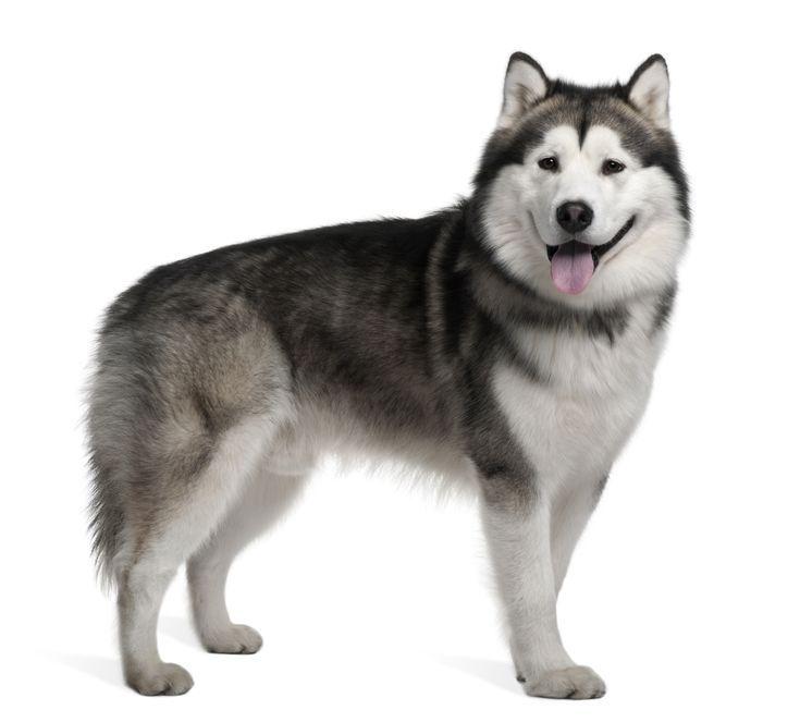 Alaskan Malamute Dog Portrait Malamute Welpen Alaskan