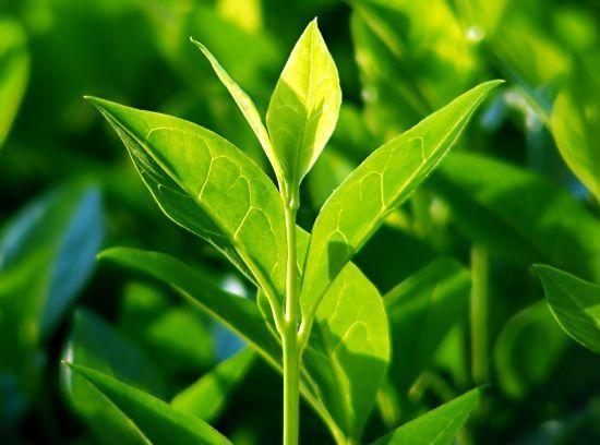 Ausztrália, bennszülöttek, gyógyítás, fertőtlenítés, gyógynövény, egy szóval: teafa!