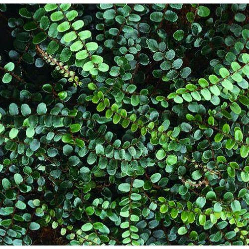 Button Fern (Pellaea rotundifolia)