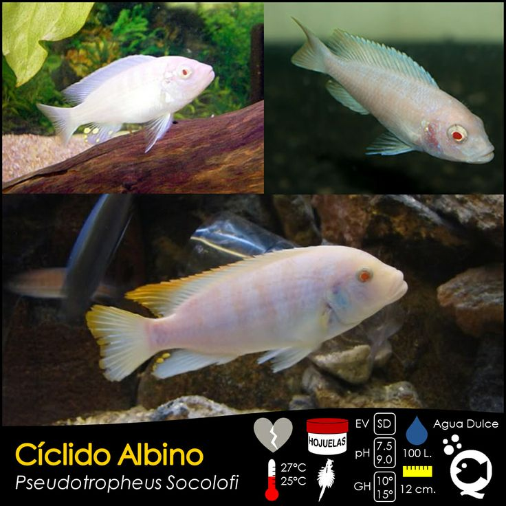 Cíclido Albino.