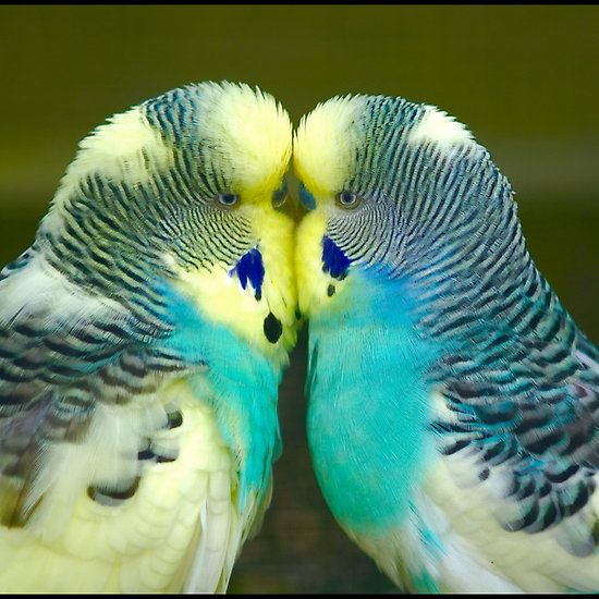 ~~Budgie Love by Ian Midwinter~~