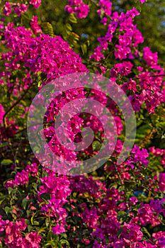 Kvitnúce popínavé rastliny kvety krásne v ázii thajsko