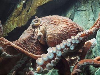 tentacle: Giant Pacific octopus (Enteroctopus dofleini)