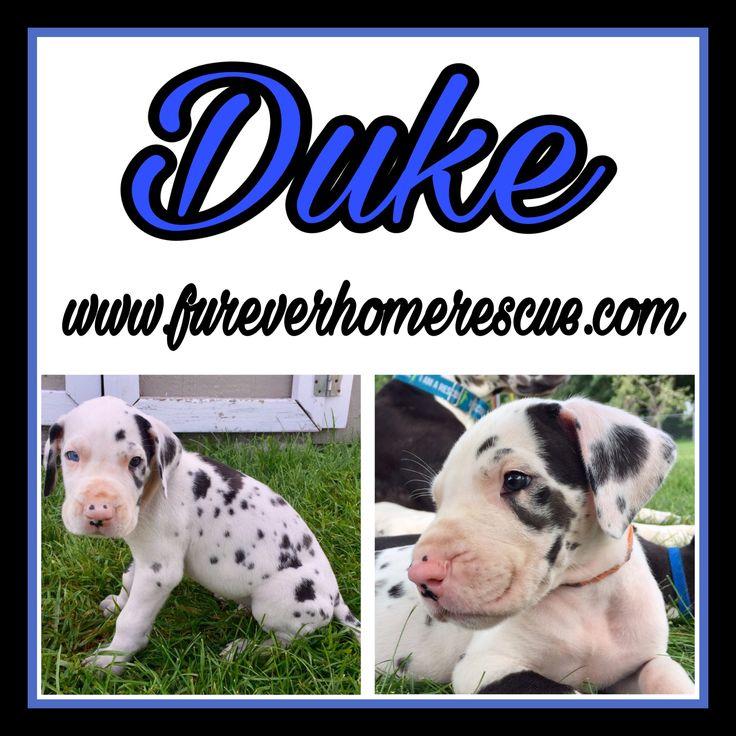 Great Dane dog for Adoption in Blaine, MN. ADN-598655 on PuppyFinder.com Gender: Male. Age: Baby