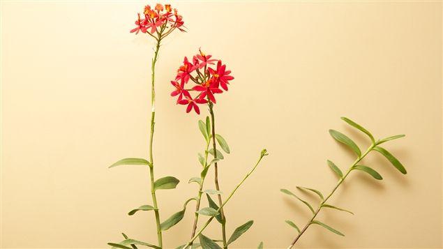 L'epidendrum, une orchidée facile d'entretien à découvrir