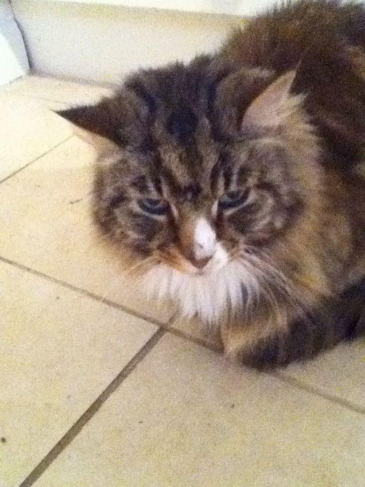 Beautiful mancoon cat