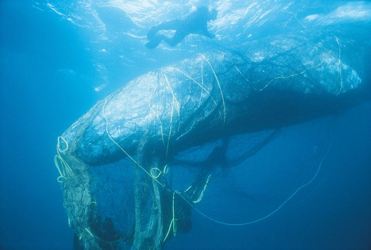 Ghost Gear: Whales, Sea Turtles, Seals Are The Unintended Catch Of Abandoned Fishing Gear (via NPR) (28 September 2016) Endangered whales and other animals are being trapped and drowned in discarded fishing gear. A new California law aims to help.