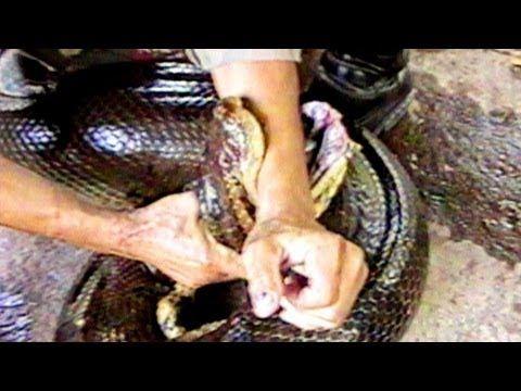 Anaconda Attack : SnakeBytesTV