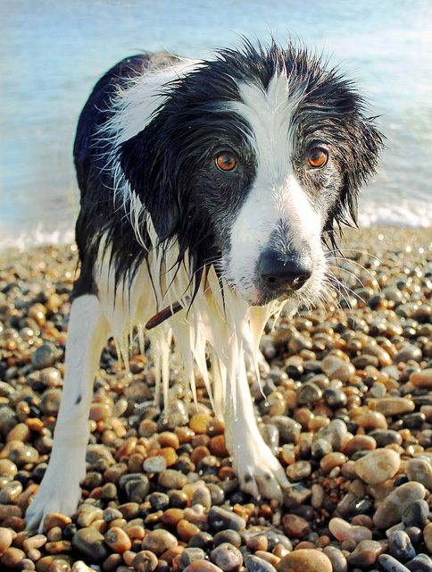 Border collie: Adorable Border, Puppies Dogs, Wet Puppies, Wet Dogs, Wet Border, Border Collies Puppies, Border Collies 3, Animal, The Beaches