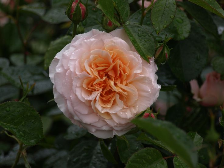Sammy. Old fashioned blooms on a short compact shrub. Excellent fragrance