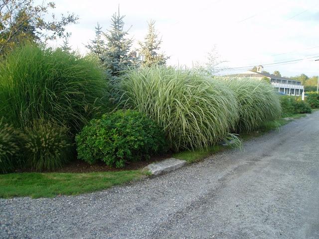 Love This Ornamental Grass! Lovegrass Farm: Miscanthus Sinensis  U0027Gracillimusu0027 Ornamental Grass At Lovegrass Farm In P.