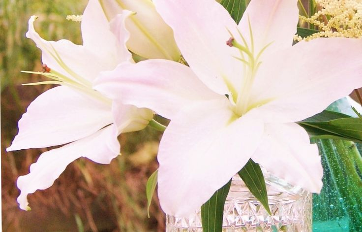 LILY, LONGIFLORUM AND ORIENTAL. Florissimo Shropshire.  From Florissimo Flower Directory at https://uk.pinterest.com/ByFlorissimo/flower-directory/ALL YEAR. Pinks and white