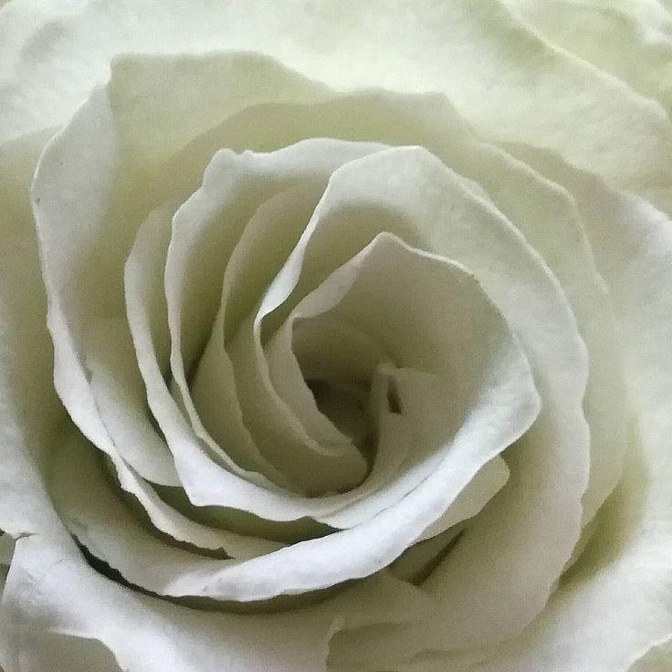 Weiße Rosen gelten als Symbol für Unschuld, Reinheit, Treue oder Entsagung. Si… – Gemuse Garten
