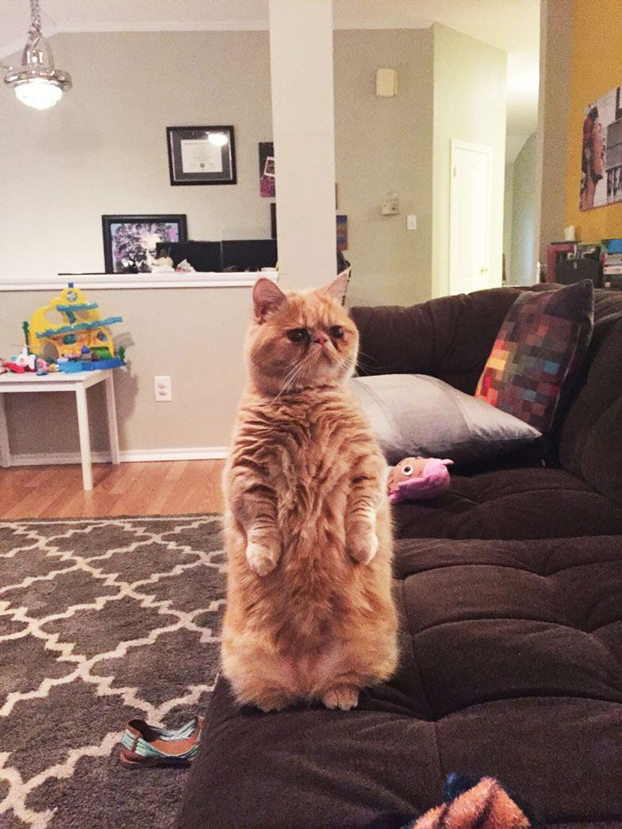 george-the-cat-standing-on-2-legs-1