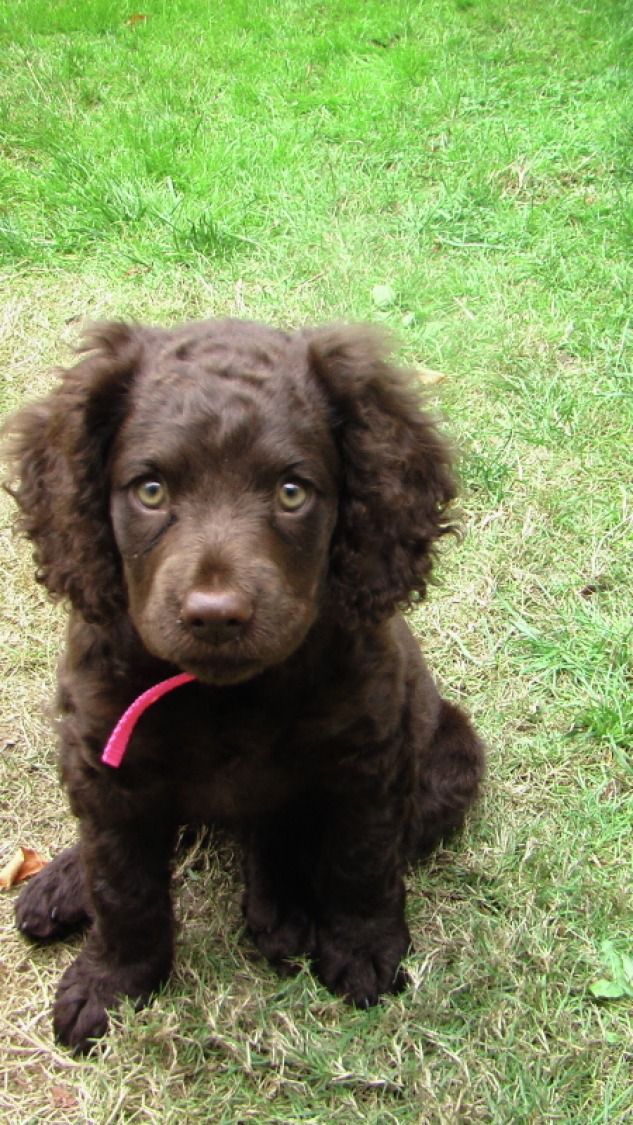 American Water Spaniel Puppy Dog | Furry | Pinterest ...