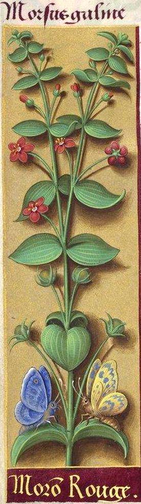 Moron rouge - Morsus galine (Anagallis arvensis L. = mouron rouge) -- Grandes Heures d'Anne de Bretagne, BNF, Ms Latin 9474, 1503-1508, f°176v