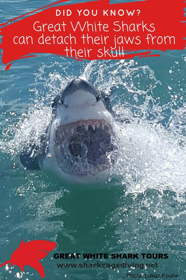 Great White Sharks cab detach their jaw from their skull.
