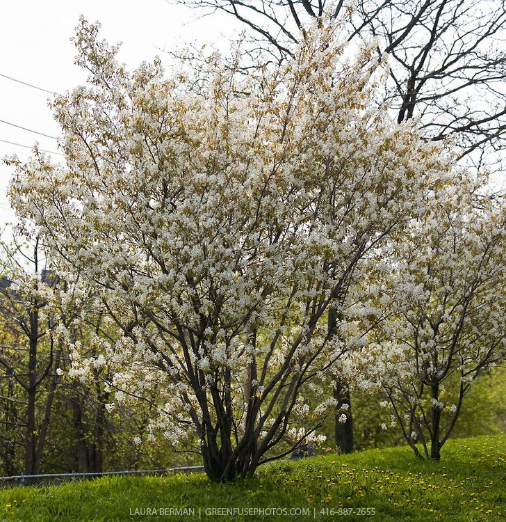Serviceberry - Amelanchier canadensis, Zone 3, small tree to large shrub with white flowers that bloom in the spring.