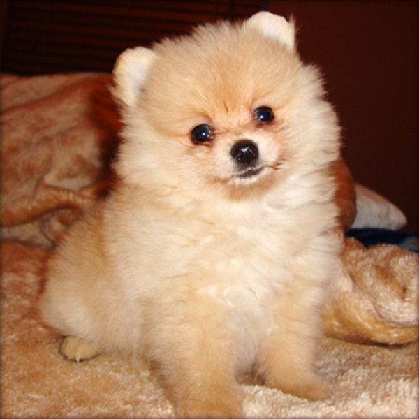 744 best images about cuteness overload on pinterest - Cute pomeranian teacup puppy ...