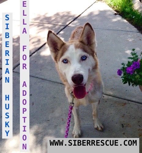 ELLA #beautiful #Florida #Siberian #Husky for #adoption: http://www.siberrescue.com/ #adopt #saveFLHuskies