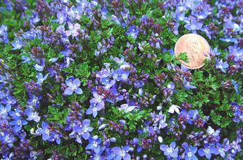 165 Best Images About Garden Groundcover Walkable Plants