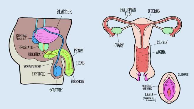 Male and Female Anatomy of the Pelvis and Sex organs