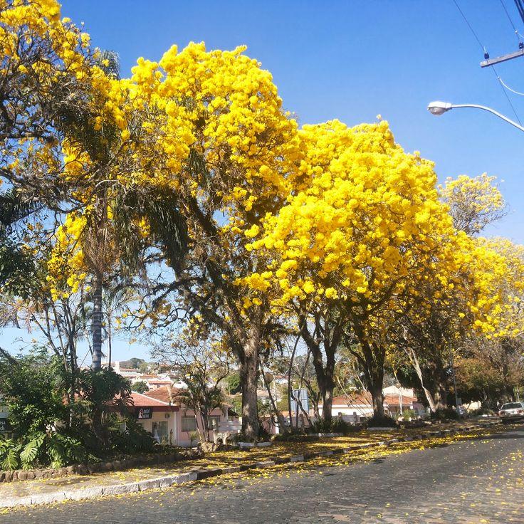 Florada dos Ipês, Guaxupé - Minas Gerais, Brasil