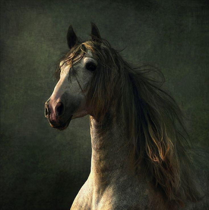 Spanish Horses (Andalusians), Lusitanos, Shagyas  - Conquistador