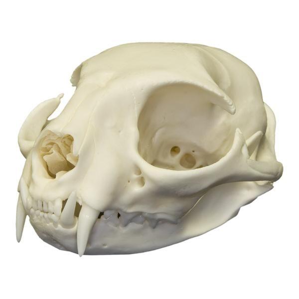 Real Domestic Cat Skull Cat Skull Dog Skull Skull