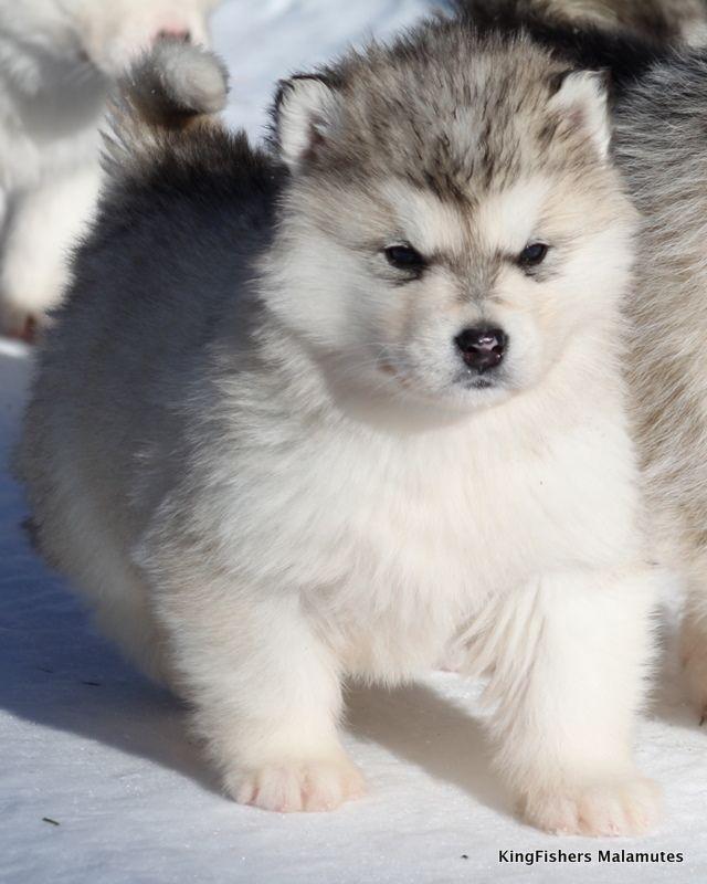 alaskan malamute   | Alaskan Malamute Puppies for Sale | KingFishers Alaskan Malamutes