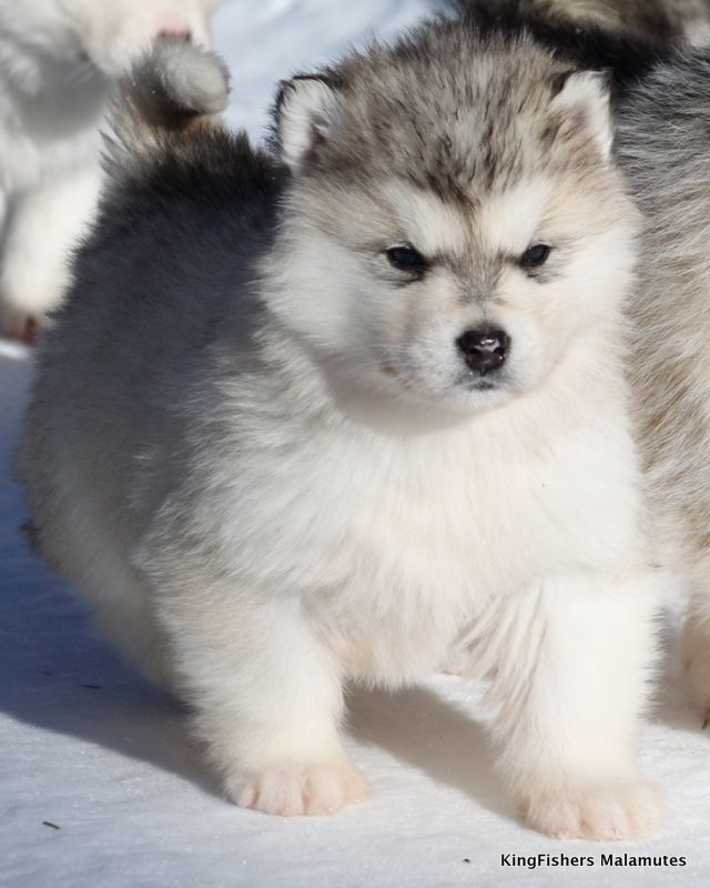 KingFishers Alaskan Malamutes Sled Dogs, Little Puppies, Cutest Dogs ...