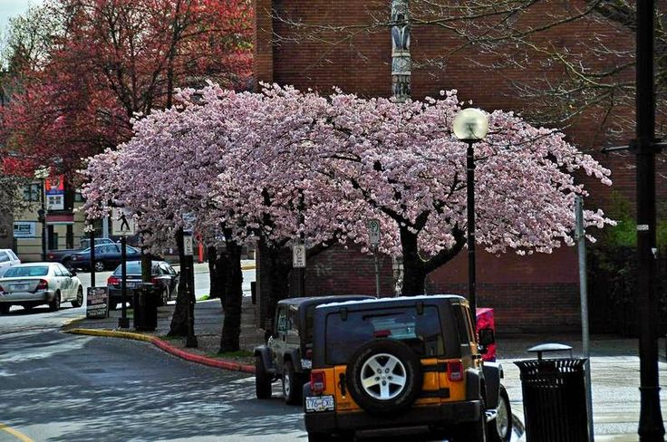Spring Blossoms in Downtown Nanaimo, BC