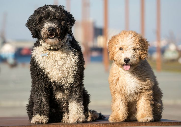 "The Spanish Water Dog may have ""water"" in his name, but this ancient breed actually herded and protected livestock. Today, he's also a loyal, smart, and energetic companion."