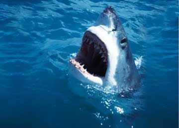 Shark Cage Diving Cape Town | White Shark Diving South Africa | Gansbaai