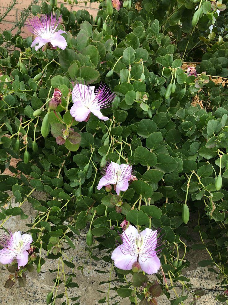 Capparis spinosa - Caper Bush #Flowering #Perth #January