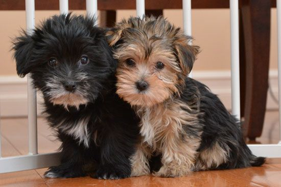 SHORKIE puppies. Picking our two up on 15th March. Mothering Sunday in the UK.