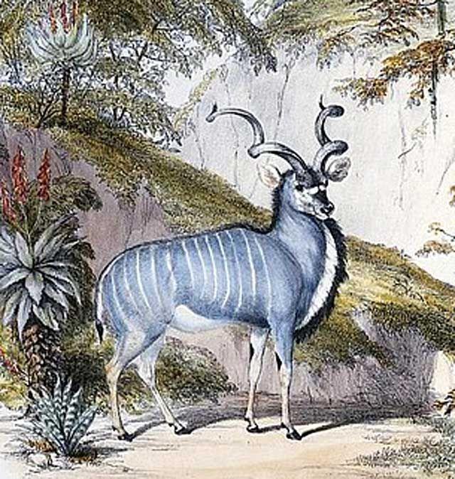 Kudu-Giraffe-Stretched-His-Neck-Wildmoz.com