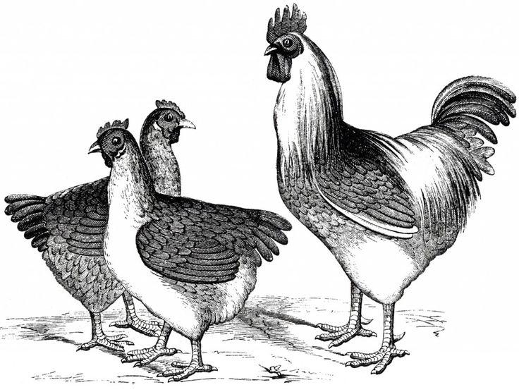 Free Vintage Chicken Graphics