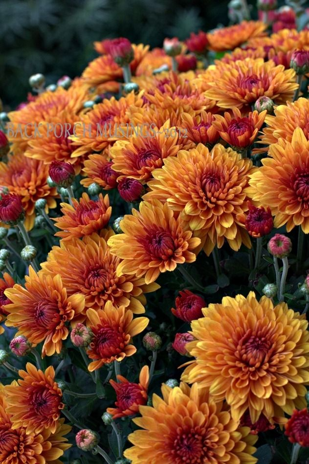 Autumn mums … and a lovely blog ...