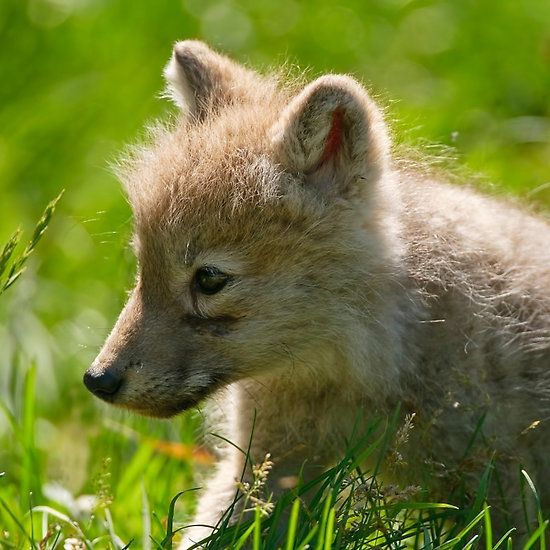 Arctic Wolf Pup  STOP KILLING WOLVES !