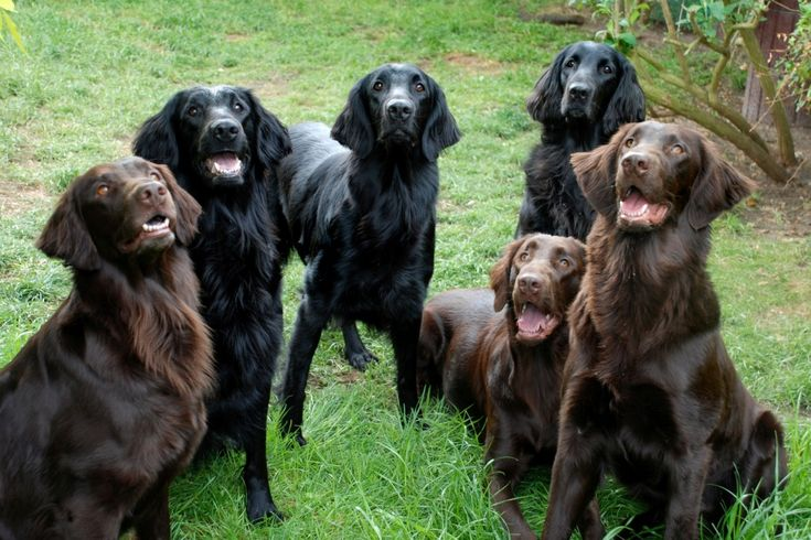 Flat-Coated Retriever - Information,Breeders,Kennels,Ads